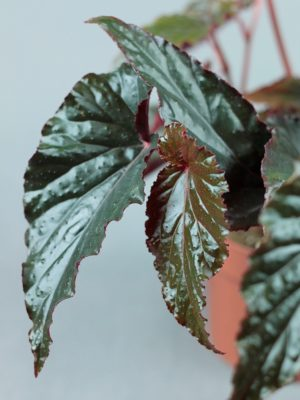 Begonia 'Black Magic'