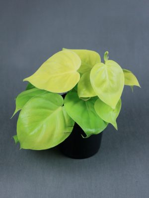 Philodendron scandens 'Lemon Lime'